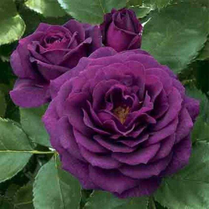 Ebb Tide Tree Rose