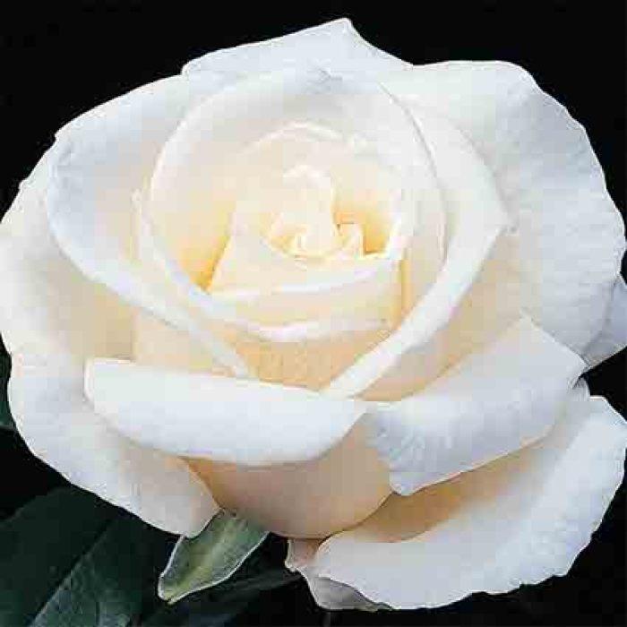 Full Sail Tree Rose