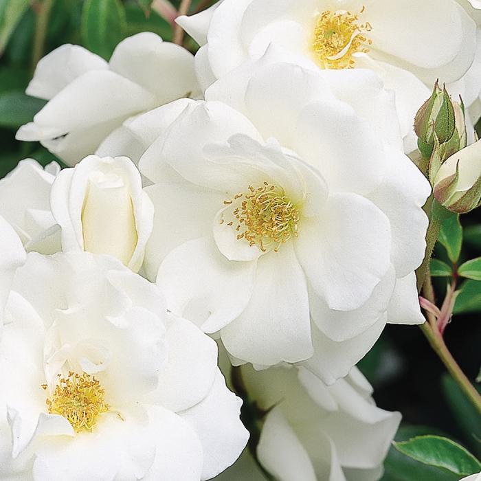 Iceberg Tree Rose