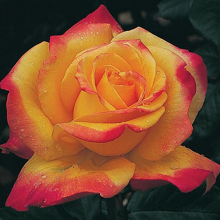 Rio Samba Tree Rose