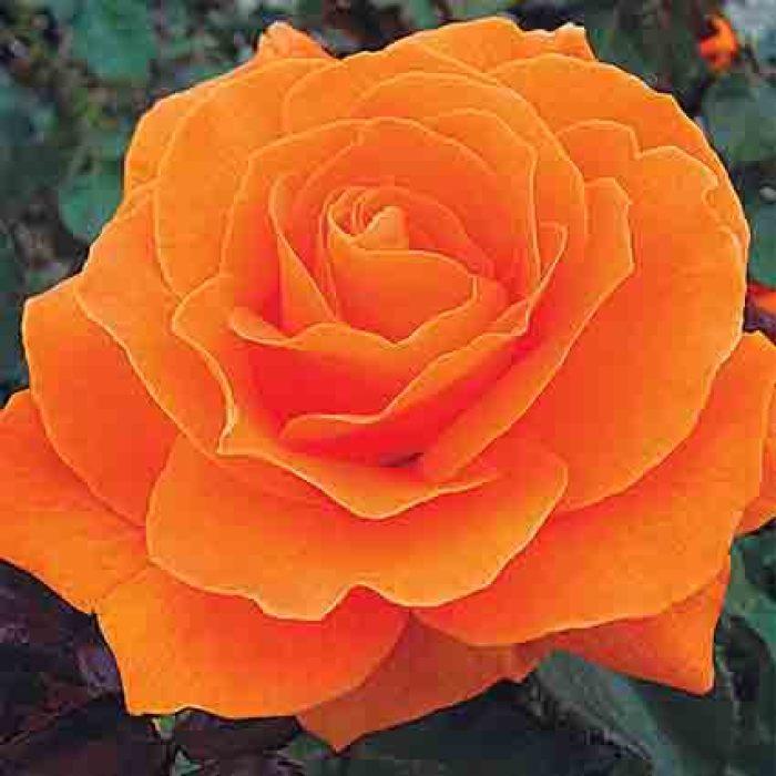 Vavoom Tree Rose