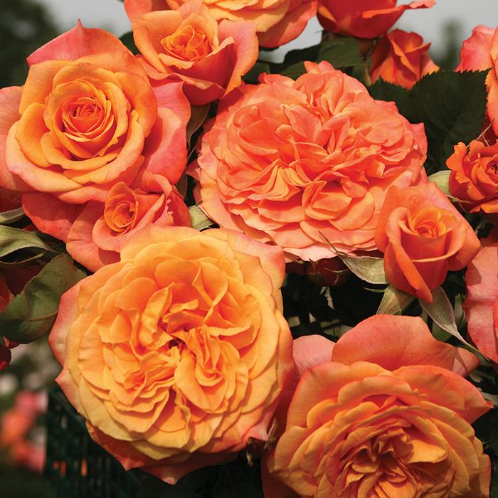 Crazy Love Grandiflora Rose