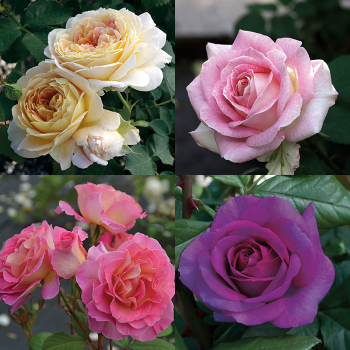 The Fabulous Four Rose Collection