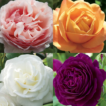Scent-Sational Rose Collection
