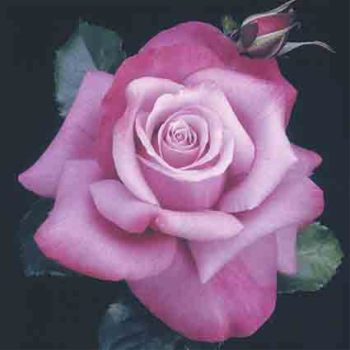 Barbra Streisand Hybrid Tea Rose