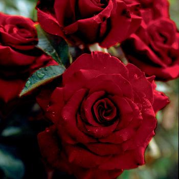 California Dreamin Tree Rose