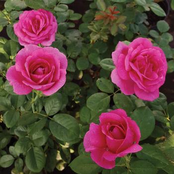 Della Reese Hybrid Tea Rose
