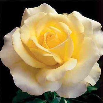 Elina Hybrid Tea Rose