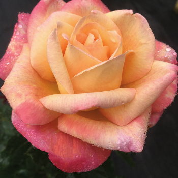 Enchanted Peace Hybrid Tea Rose