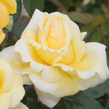 Eternal Flame Hybrid Tea Rose