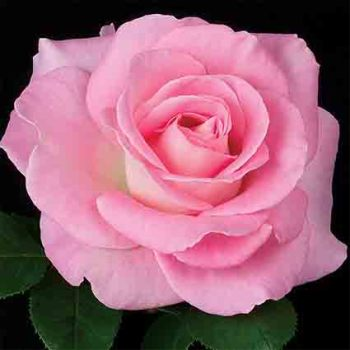 Falling In Love Hybrid Tea Rose