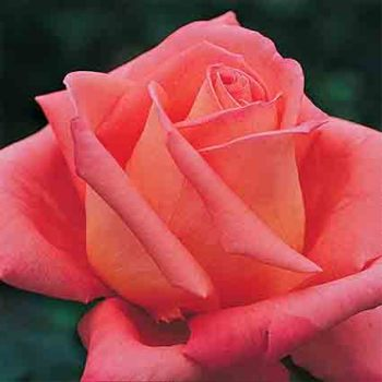 Folklore Hybrid Tea Rose