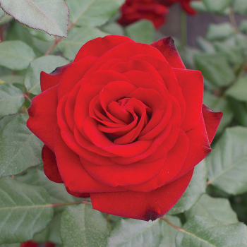 Forever Yours Hybrid Tea Rose
