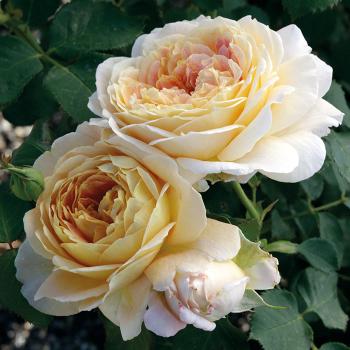 Fun In The Sun Grandiflora Rose