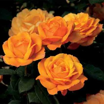 Good As Gold Hybrid Tea Rose