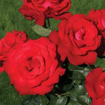 Grande Amore Hybrid Tea Rose