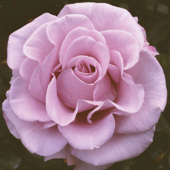 Lagerfeld Grandiflora Rose
