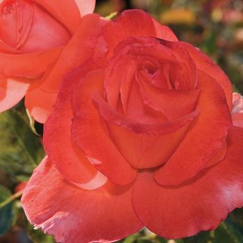 Lasting Peace Grandiflora Rose