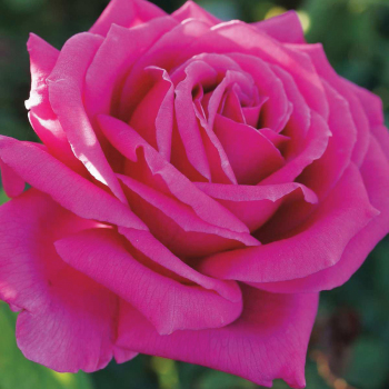 Miranda Lambert Hybrid Tea Rose