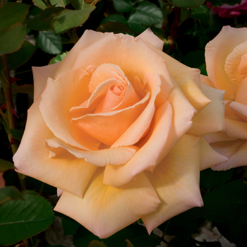 Over The Moon Hybrid Tea Rose