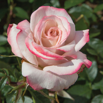 Pinkerbelle Hybrid Tea Rose