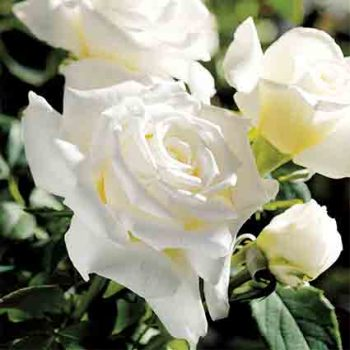 Pope John Paul  I I Hybrid Tea Rose