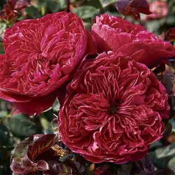 Rouge Royal Hybrid Tea Rose