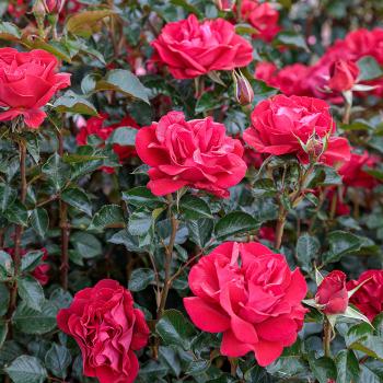 Ruby Red Hybrid Tea Rose