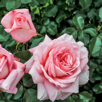 Savannah Hybrid Tea Rose