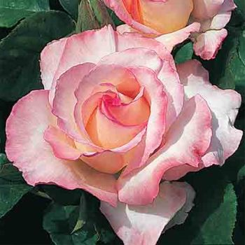 Secret Hybrid Tea Rose
