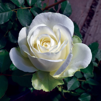 Shirley's Bouquet Hybrid Tea Rose