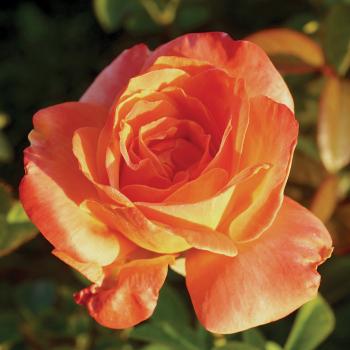 Shreveport Grandiflora Rose