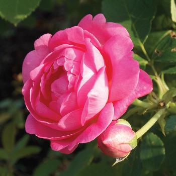 Sitting Pretty Grandiflora Rose