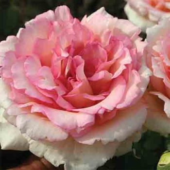 Souvenir De Baden Baden Hybrid Tea Rose