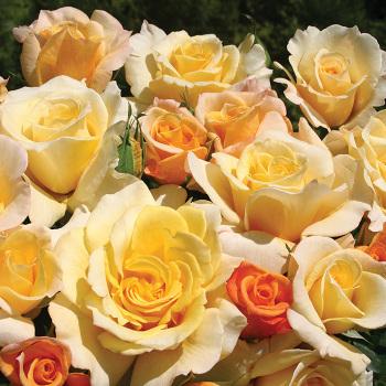 Sunny Sky Hybrid Tea Rose