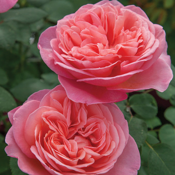 Sweet Mademoiselle Hybrid Tea Rose