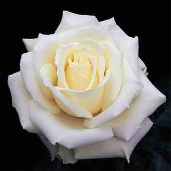 Tineke Hybrid Tea Rose