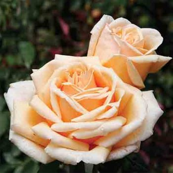 Valencia Hybrid Tea Rose