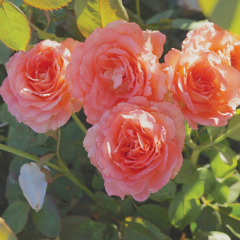 Waiheke Grandiflora Rose