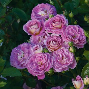 Arctic Blue Floribunda Rose