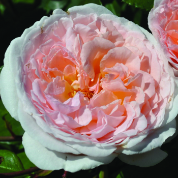 Bliss Grandiflora Rose