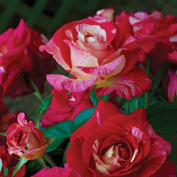 Camille Passarro Floribunda Rose