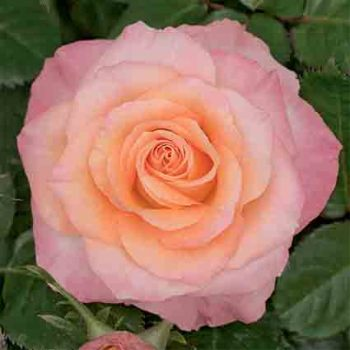 Day Breaker Floribunda Rose