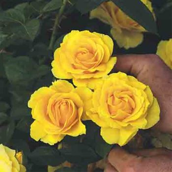 Doris Day Floribunda Rose
