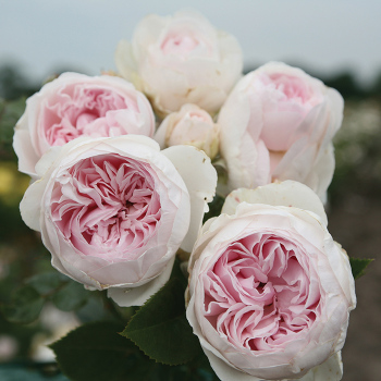 Earth Angel Floribunda Rose