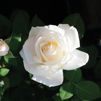 Easy Spirit Floribunda Rose