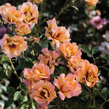 Eyeconic Mango Lemonade Floribunda Rose