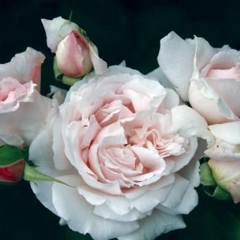First Crush Floribunda Rose