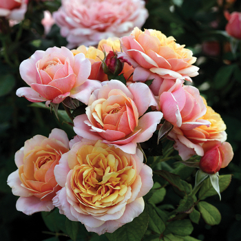 State Of Grace Grandiflora Rose