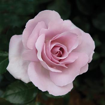 Le Petit Prince Floribunda Rose